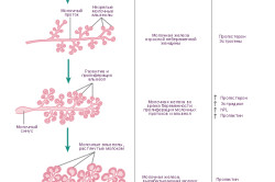 Схема лактации