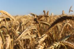Пшеница, из которой производят манную крупу